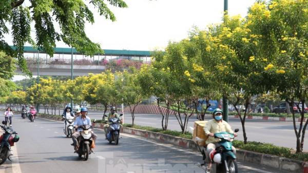 Hoa huỳnh liên nở vàng rực đường phố Sài Gòn ngày giáp Tết