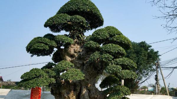 Cây duối cổ trăm tuổi ở Hưng Yên được trả giá hơn 10 tỷ