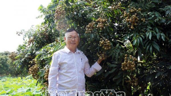 Hưng Yên: Đã bắt đầu thu hoạch nhãn chín sớm