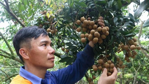 Một số vườn nhãn Hưng Yên chín sớm, người dân bán lời gấp 1,5 - 2 lần chính vụ