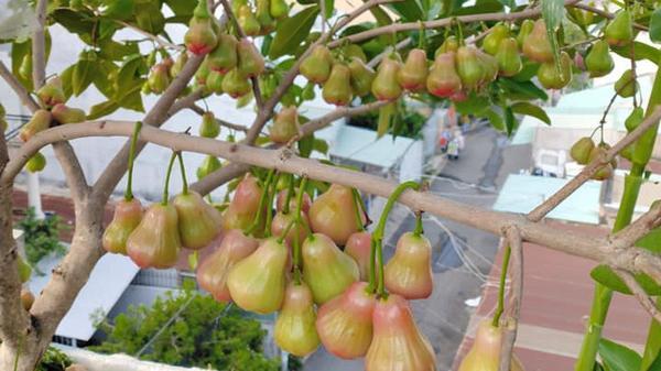 """Vườn cây ăn quả trên sân thượng không khác gì một """"trang trại trên không"""" ở Sài Gòn"""