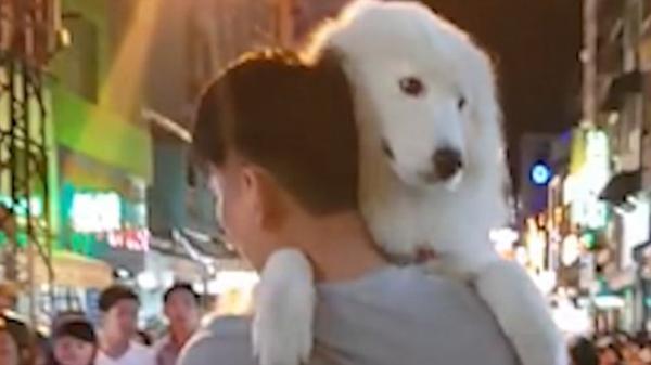 Báo Tây 'phát sốt' với chú chó 'khủng' lông trắng muốt được cậu chủ cưng nựng trên đường phố Sài Gòn