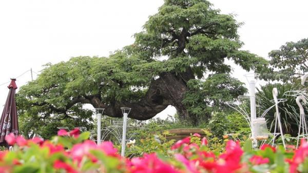 TP. HCM: Cận cảnh cây me hơn 100 tuổi được rao bán với giá 3,5 tỷ