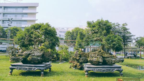 """Cận cảnh cặp sanh cổ thụ được đại gia trả 4 tỷ đồng không bán ở phố """"nhà giàu"""" Sài Gòn"""
