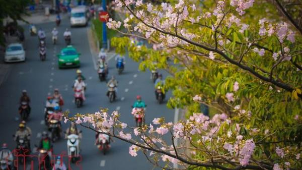 Sài Gòn có những con đường hoa kèn hồng đang mùa khoe sắc đẹp đến nao lòng
