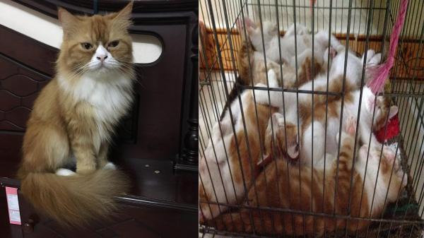CƯỜI RỤNG RỐN: Chỉ ở nhà với 2 chàng mèo đã bị thiến mà nàng Xù của nữ sinh TP.HCM lại 'vô cớ' có bầu