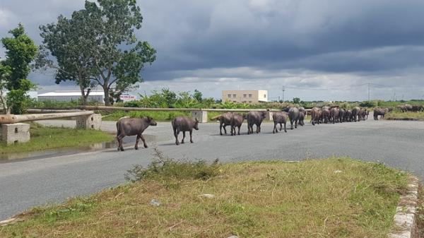 Đàn trâu hàng chục con 'đại náo' KCN ở Cà Mau, tiềm ẩn tai nạn giao thông