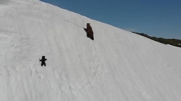 Sự thật đáng buồn đằng sau clip truyền cảm hứng: Gấu con kiên trì leo lên vách núi tuyết theo gấu mẹ