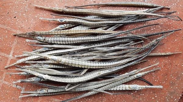 Loại cá thương lái tìm mua với giá cao ở Cà Mau không phải cá lìm kìm