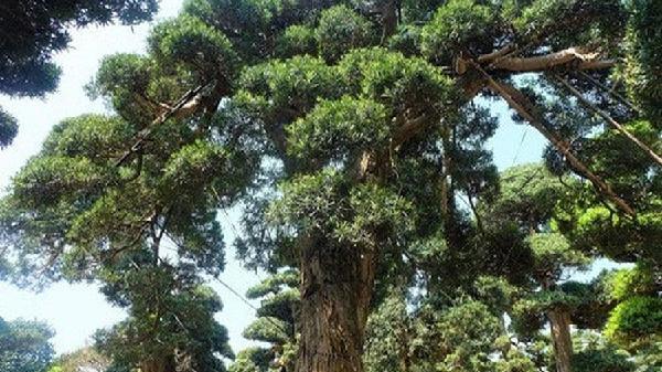 Mục sở thị loạt cây tùng 'khủng' tiền tỷ của đại gia Việt