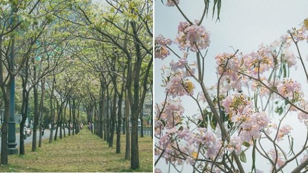Sài Gòn mùa hoa kèn hồng: dịu dàng và dễ thương đến lạ!