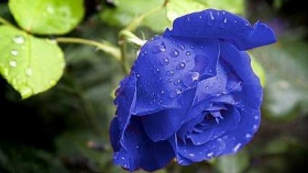 Hoa hồng xanh - món quà quá lý tưởng dành cho ngày lễ Phụ nữ Việt Nam 20/10 sắp tới