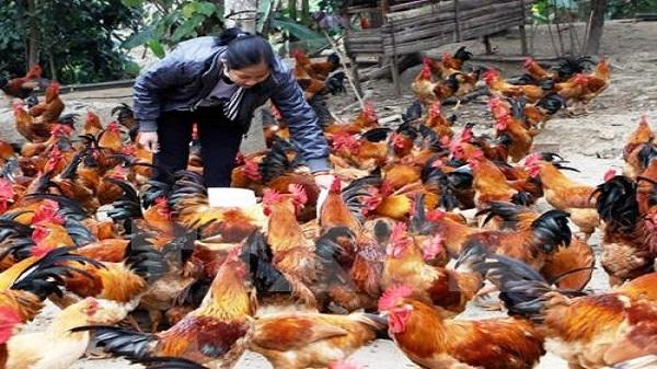 Trà Vinh : Giá gà thả vườn tăng mạnh