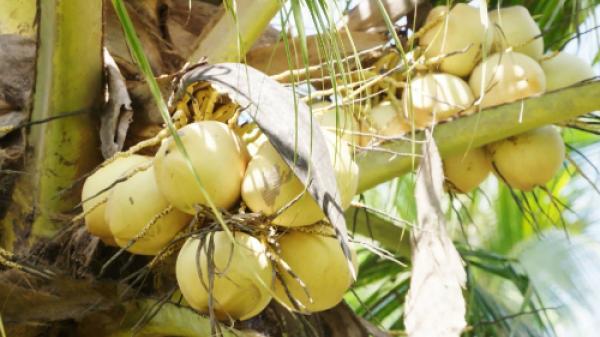Dừa sáp Cầu Kè giá 200.000 đồng một quả