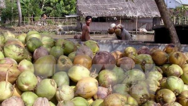 Giá dừa khô ở Trà Vinh giảm kỷ lục