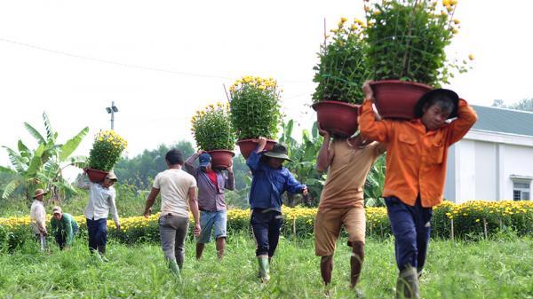 CHẠNH LÒNG nhìn những lao động nghèo Trà Vinh oằn mình vác hoa từ sáng tới chiều lấy 200.000 đồng tiêu Tết