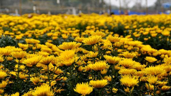 Nông dân Trà Vinh thu lời hàng trăm triệu đồng từ vụ hoa Tết