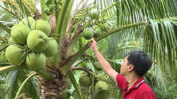 Chàng thanh niên Khmer sẵn sàng từ bỏ cơ hội làm giàu ở Sài Gòn về Trà Vinh trồng dừa sáp