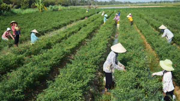 Trà Vinh hỗ trợ vốn cho 1.400 hộ nông dân sản xuất thích ứng biến đổi khí hậu trong năm 2018