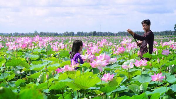 """Choáng ngợp trước cánh đồng hoa sen """"siêu khủng"""" nở rộ rực rỡ, dài rộng ngợp trời ở miền Tây"""