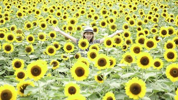 Ngay gần Kiên Giang có cánh đồng hoa hướng dương Nhật khổng lồ đẹp quên lối về