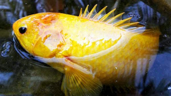 Cá rô vàng óng dính lưới nông dân miền Tây