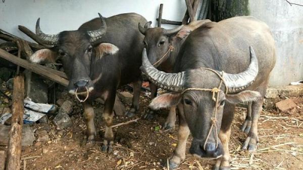Nghệ An: Rạng sáng, kẻ gian vào nhà bắt trộm đàn trâu 5 con