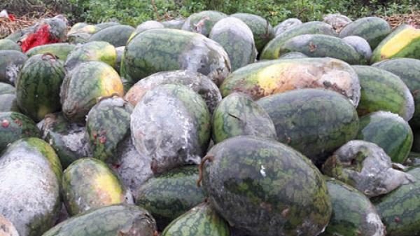 Nghệ An: Hàng trăm tấn dưa hấu bị nước ngập, dân lấy cho bò ăn