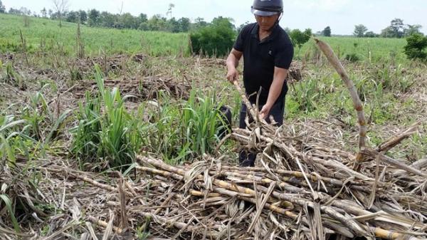 Nhà máy đường Sóc Trăng đã trả hết 100 tỷ đồng tiền nợ nông dân