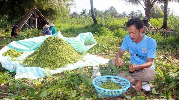 Nông dân Cù Lao Dung (Sóc Trăng) dần chuyển đổi từ cây mía sang cây đậu nành