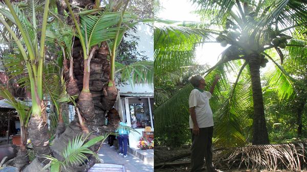 """Chiêm ngưỡng những cây dừa """"độc, lạ"""" chưa từng thấy ở miền Tây"""