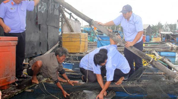 Kiên Giang: Giải cứu 12 con rùa xanh quý hiếm ở Phú Quốc