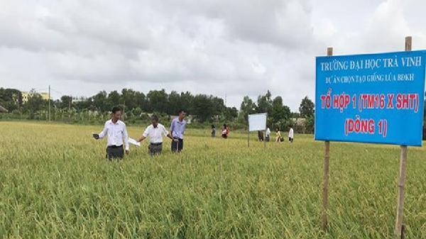 Trường ĐH Trà Vinh nghiên cứu giống lúa chịu hạn mặn