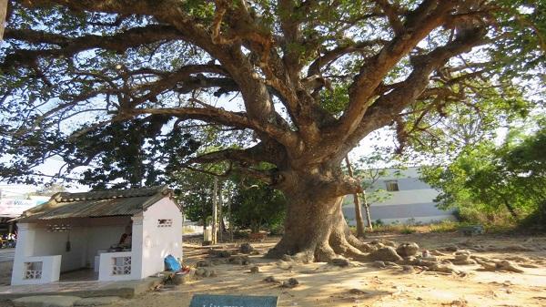 Thực hư cây dầu nghìn năm tuổi chữa bách bệnh ở Trà Vinh