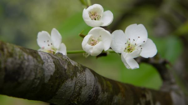 Hồng Thái - Dịu dàng mùa hoa trắng