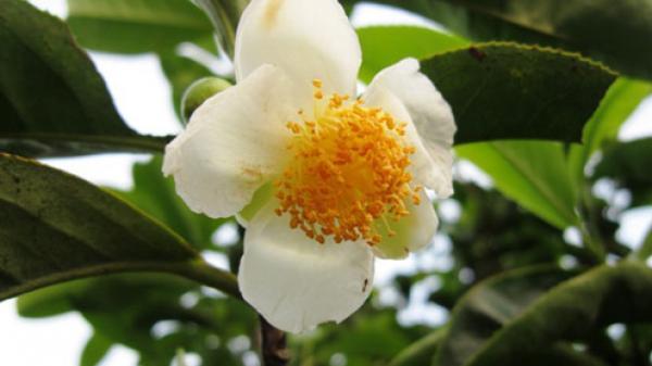 Na Hang, Tuyên Quang: Nặng lòng với cây chè Shan Tuyết