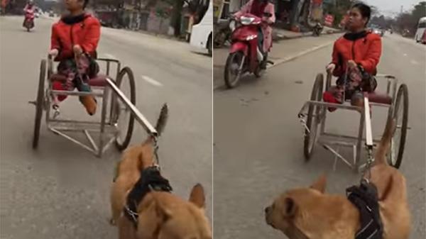 Tuyên Quang: Cảm động hình ảnh cô chủ nhỏ tật nguyền ngồi trên xe lăn được chú chó kéo đi khắp thành phố như hai người bạn thân