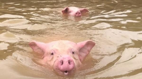 'Thấy đàn lợn gần 6.000 con đuối dần trong nước lũ nhưng tôi bất lực'
