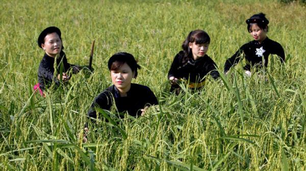 Về Nà Hang (Tuyên Quang) nơi hương cốm Côn Lôn gọi mùa thu sang