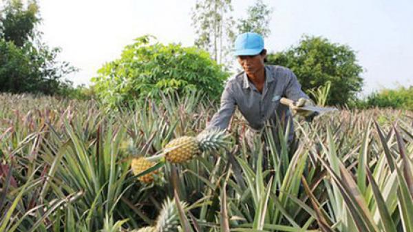 Đúng, Vĩnh Long có 30% diện tích là đất phèn