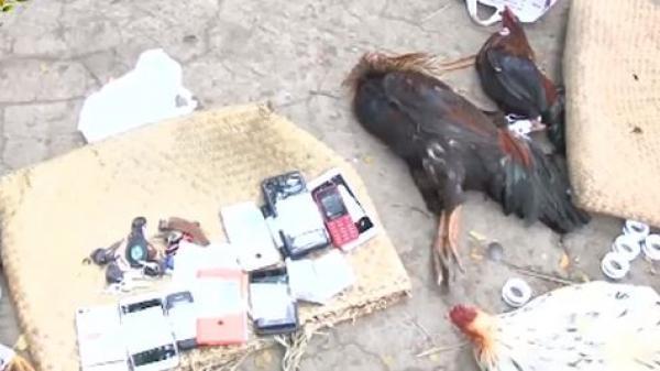 Vĩnh Long:  Triệt phá tụ điểm đá gà ăn tiền quy mô lớn dịp đầu năm mới