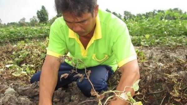 Vĩnh Long: Dân tự treo thưởng để bắt kẻ phun thuốc diệt khoai lang