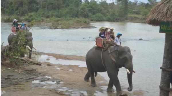 Đắk Lắk: Chật vật giúp voi mang thai, đẻ con