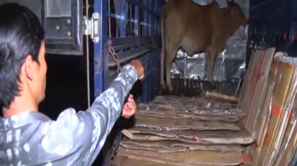 Vĩnh Long: Thanh niên trộm bò vượt 400km mang đi tiêu thụ thì bị bắt