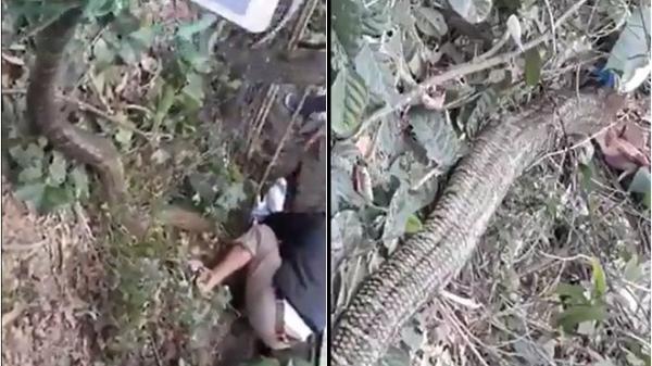 1mg nọc độc của rắn hổ mang khổng lồ ở Vĩnh Phúc có thể giết 160 người trưởng thành