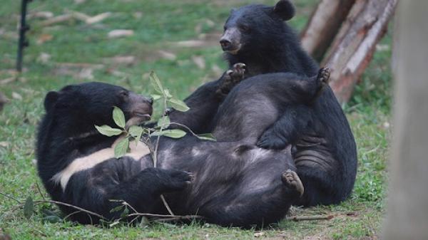 Sai, trung tâm cứu hộ gấu ở Vĩnh Phúc