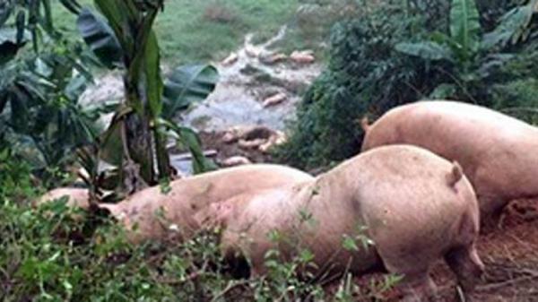 HI HỮU: Chủ chiêu đãi 'bữa nhậu', đàn lợn 18 con say 'quắc cần câu'