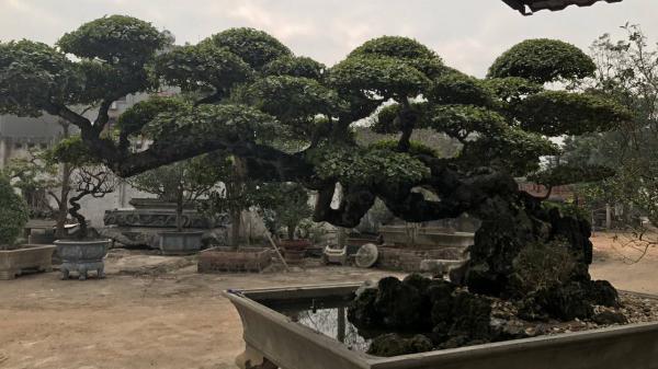 """Về Vĩnh Phúc chiêm ngưỡng cây duối trăm năm tuổi với thế độc """"long đàn phượng vũ"""""""