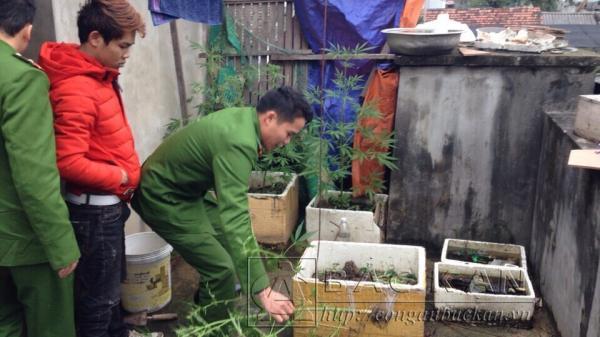 Giật mình phát hiện gia đình ngang nhiên trồng cây cần sa trên sân thượng