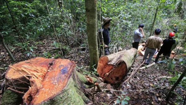 """Vĩnh Phúc: Kiểm lâm Tam Đảo """"giữ rừng tốt"""", gỗ quý vẫn bị """"xẻ thịt"""""""